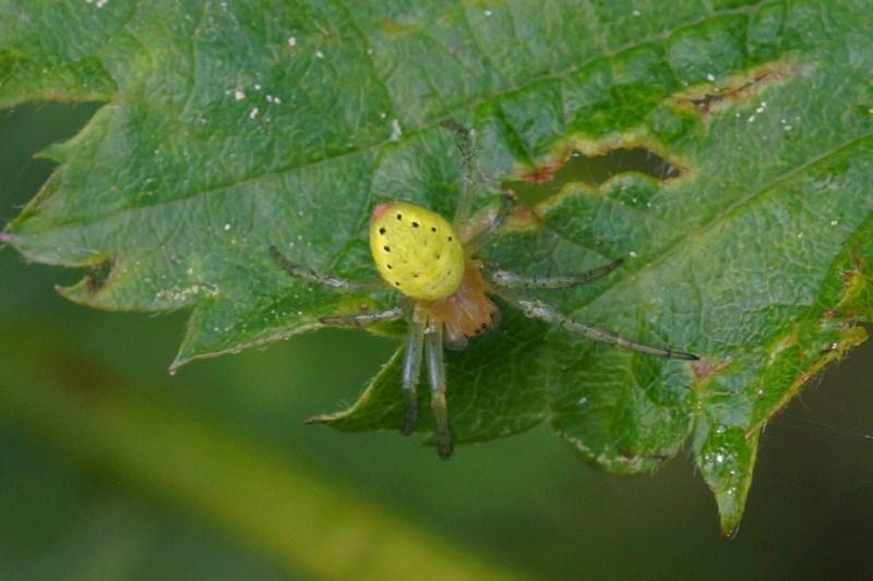 Gewone Komkommerspin -Araniella cucurbitina