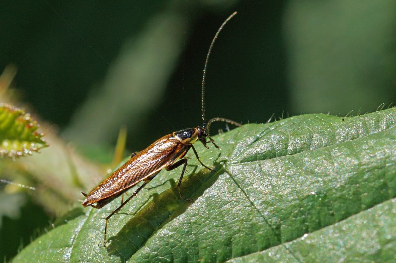 Noordse Kakkerlak
