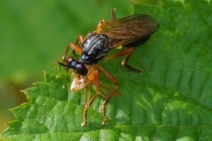 Roofvlieg Glimmende Bladjager -Dioctria cothurnat