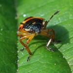 Schildwants Nimf - Zicrona caerulea (Pentatomidae)