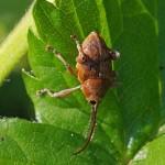 Hazelnootboorder Curculio nucum