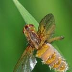 Strontvlieg /Gele Strontvlieg (met schimmel Entomophthora cf muscae)