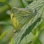 Vlinders - Klein Geaderd Witje