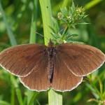 Koevinkje- Aphantopus hyperantus