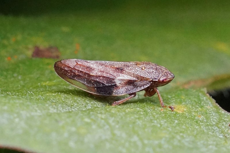 Cicade - Aphrophora alni