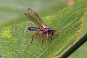 Gewone Sluipwesp - Ichneumonidae indet.
