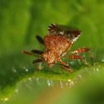 Geblokte Glasvleugelwants -Rhopalus subrufus