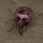 Schildwants -Eysarcoris venustissimus