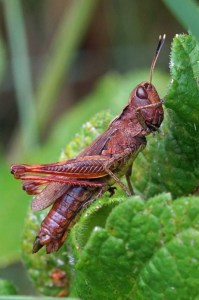 Weidesprinkhaan - vrouw- Chorthippus dorsatus