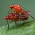Wortelvliegen -Psila fimetaria