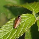 Boskakkerlak - Ectobius sylvestris
