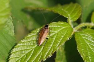 Boskakkerlak