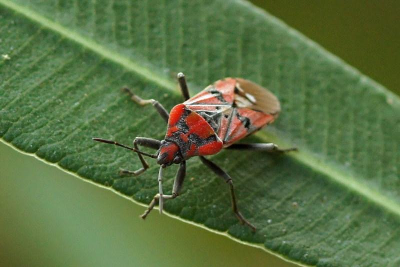 Lygaeidae -Spilostethus pandurus