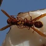 Oriëntaalse Hoornaar Vespa orientalis