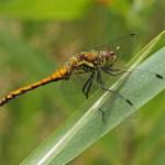 Zwarte Heidelibel m - vers -Sympetrum danae