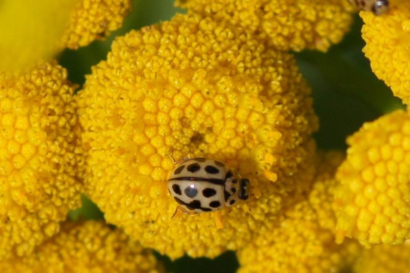 Zestienpuntlieveheersbeestje -Tytthaspis sedecimpunctata