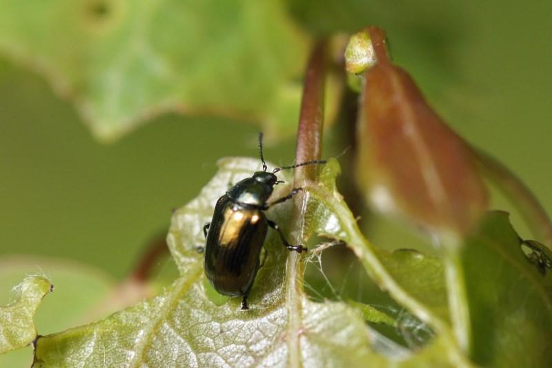 Bronsgriendhaantje Phratora vitellinae