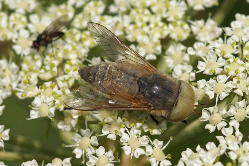 Grijze Runderdaas -Tabanus autumnalis
