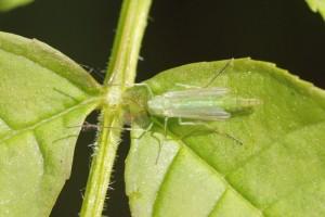 Groene Dansmug - Chironomus spec