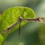 Hoefbladvedermot -Platyptilia gonodactyla