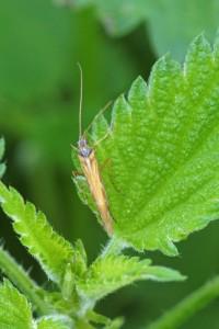 Kokerjuffer of Schietmot -Trichoptera