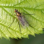 Slankpootvlieg -Dolichopodidae sp.