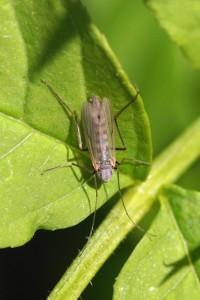 Vedermug Dansmug-Chironomidae