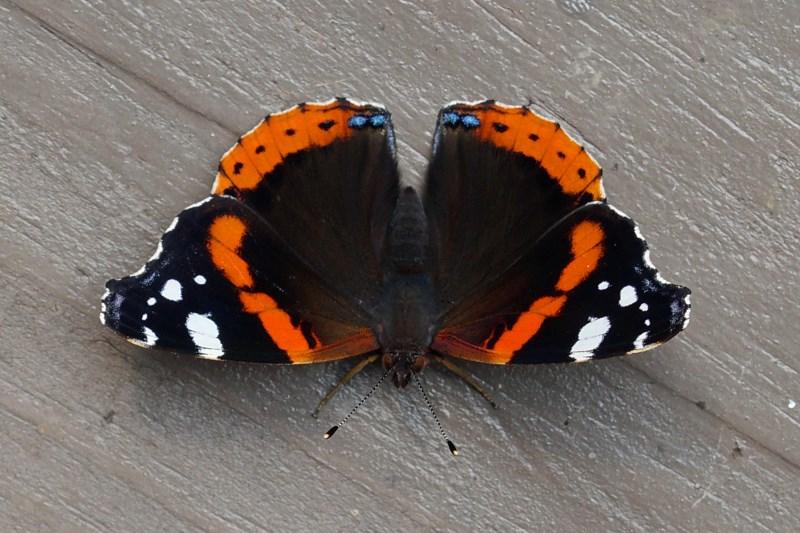Atalanta, Admiraalvlinder of Nummervlinder - Vanessa atalanta