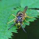 Plooivleugelwesp -Boswesp -Dolichovespula sylvestris