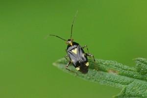 Brandnetelwants - Liocoris tripustulatus