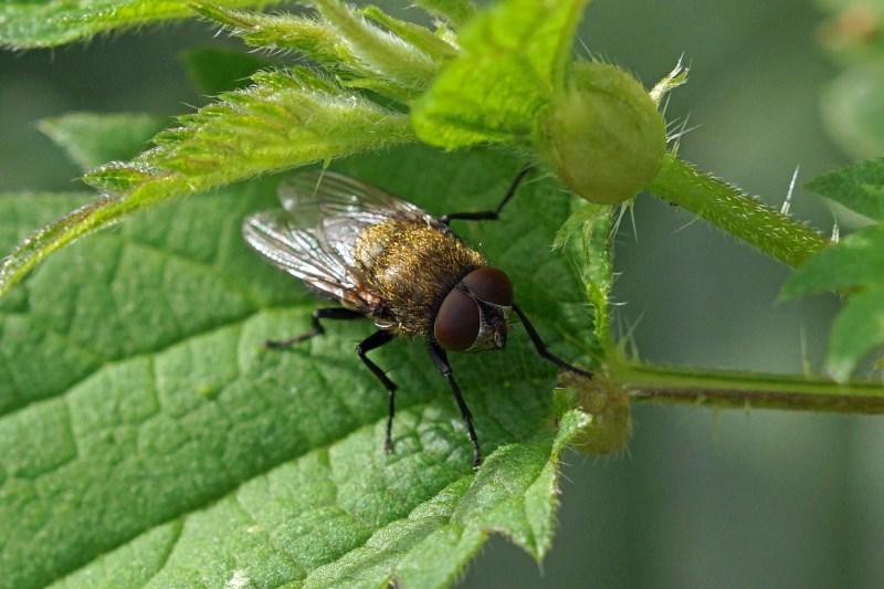 Bromvlieg - Pollenia rudis