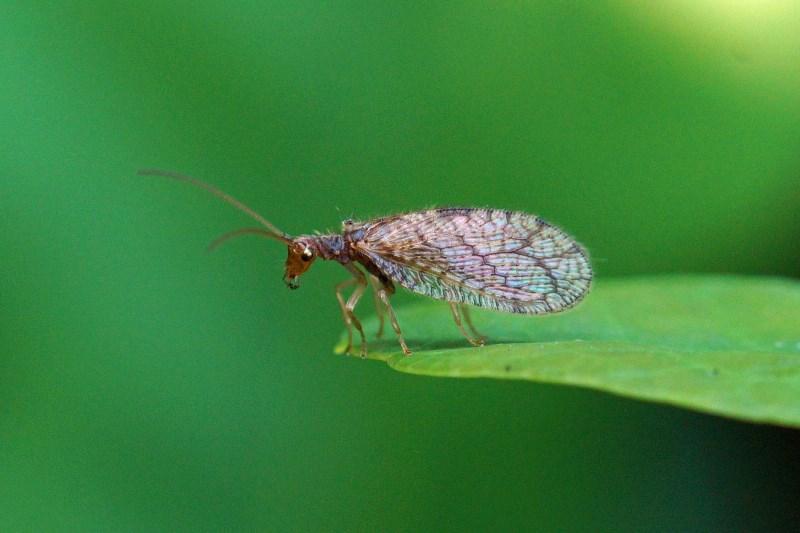 Bruine gaasvlieg - Micromus variegatus