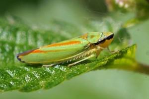 Cicadellidae-Graphocephala-fennahi