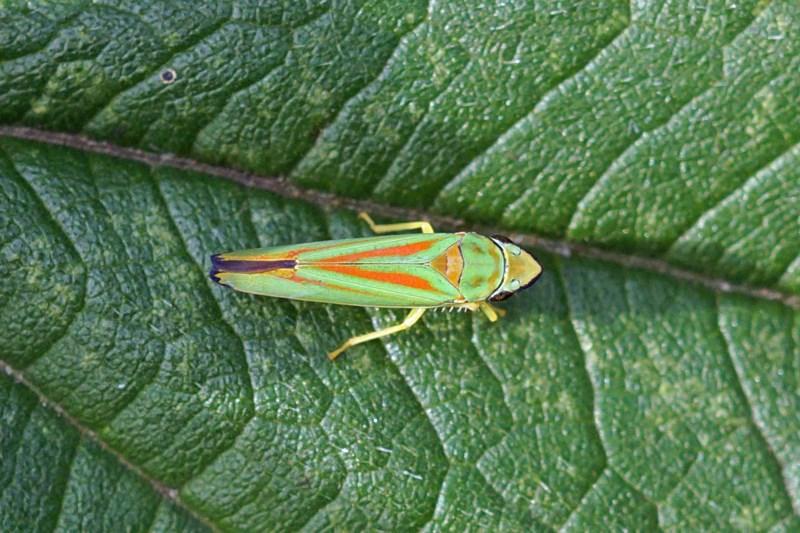 Cicadellidae-Graphocephala fennahi