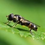Menuetzweefvlieg - Syritta pipiens - vrouw