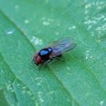 Echte vliegen -Hydrotaea ignava