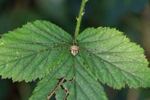 Hooiwagen - Strekpoot - vrouw -Dicranopalpus ramosus