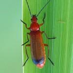 Kleine Rode Weekschildkever -Rhagonycha fulva