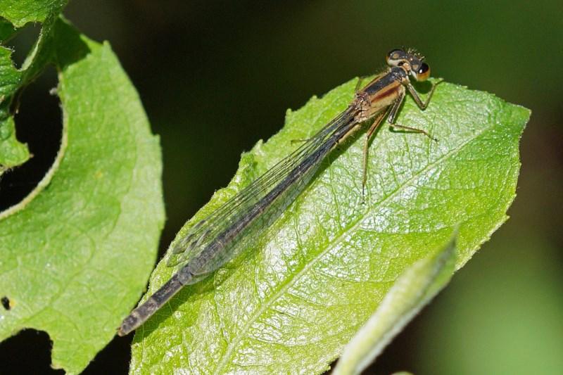 Lantaarntje -Ischnura elegans