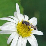 Menuetzweefvlieg -Syritta pipiens