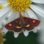 Muntvlindertje -Pyrausta aurata