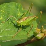 Struiksprinkhaan -man-Leptophyes punctatissima