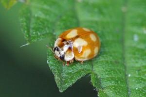 Tienvleklieveheersbeestje -Calvia decemguttata