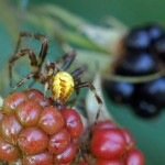 Viervlekwielwebspin - man- Araneus quadratus