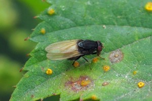 Vlieg -Lauxaniidae -Minettia longipennis
