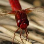Vuurlibel -Crocothemis erythraea
