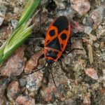 Vuurwants Pyrrhocoris apterus