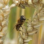 Zweefvlieg Kegelbijvlieg - Eristalis pertina (niet zeker)