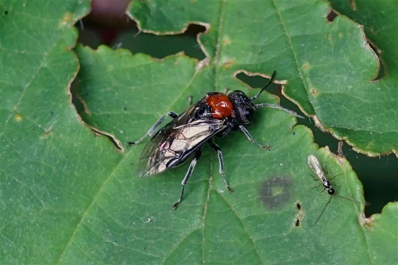 Bladwesp - Eutomostethus Ephippium