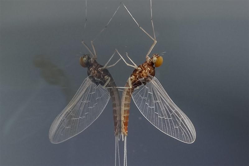 Eendagsvlieg - Haften - Cloeon dipterum spec